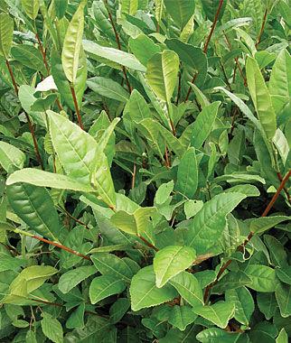 شاي أخضر nabatdelivery Green tea