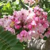nabatdelivery كاسيا نودوزا ( Cassia nodosa) nabatjpg