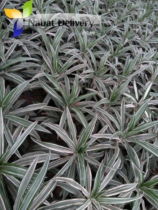 دريسينا درمنسيس وايت dracaena deremensis white