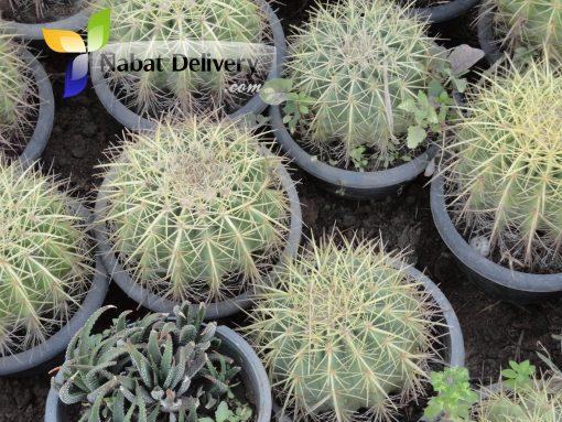 عمة القاضي Echinocactus grusonii