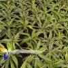 دريسنا درمنيس ليمون dracena deremensis lemon