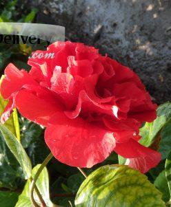 هبسكس دوبل Hibiscus