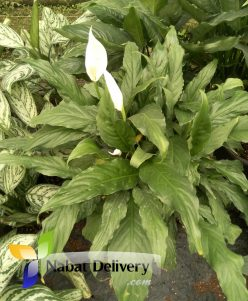 nabatdelivery Peace Lily (Spathiphyllum) Peace Lily (Spathiphyllum)