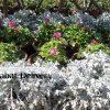 شيرانيا Centaurea