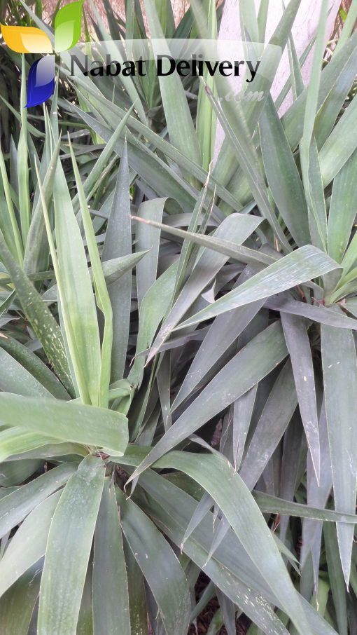 يوكا Yucca