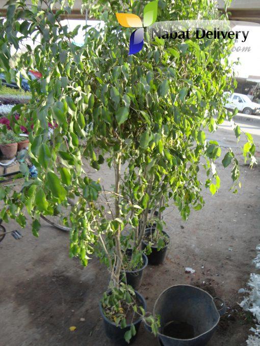 فيكس بنجامينا Ficus Benjamina