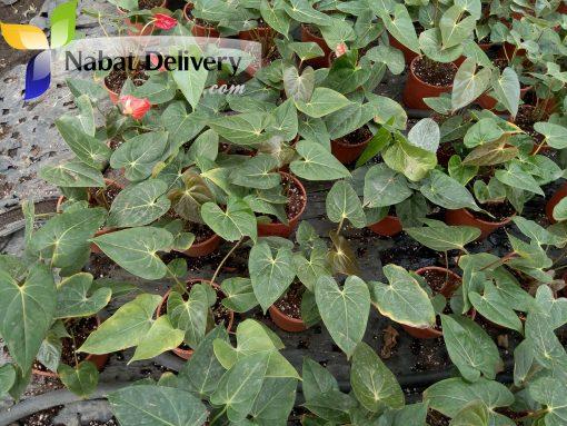 انتوريوم Anthurium