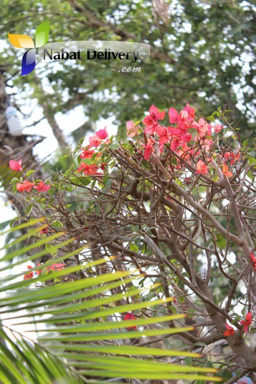 جهنمية Bougainvillea