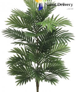 Areca Palm ( small size)