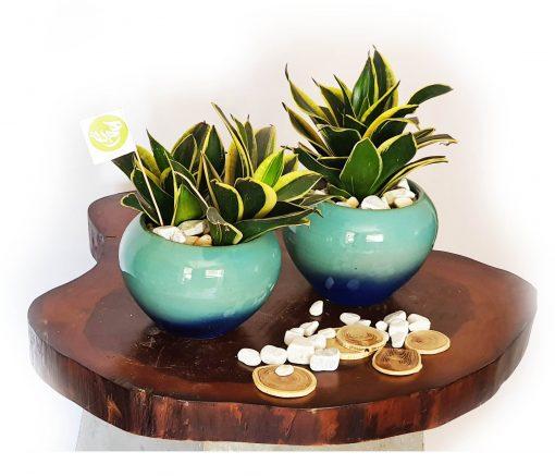 Snake plant with pot nabatdelivery