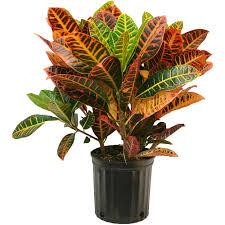 Croton nabatdelivery