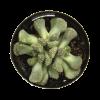 Aloinopsis luckhoffii nabatdelivery