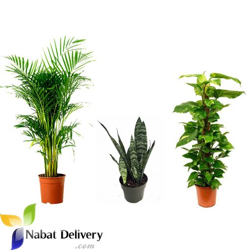 Clean Indoor Air Plants nabatdelivery