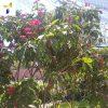 Crepe-jasmine-(Tabernaemontana-divaricata)