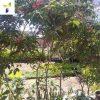 Crepe-jasmine-(Tabernaemontana-divaricata)2