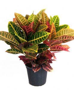 Croton-codiaeum-variegatum-nabatdelivery
