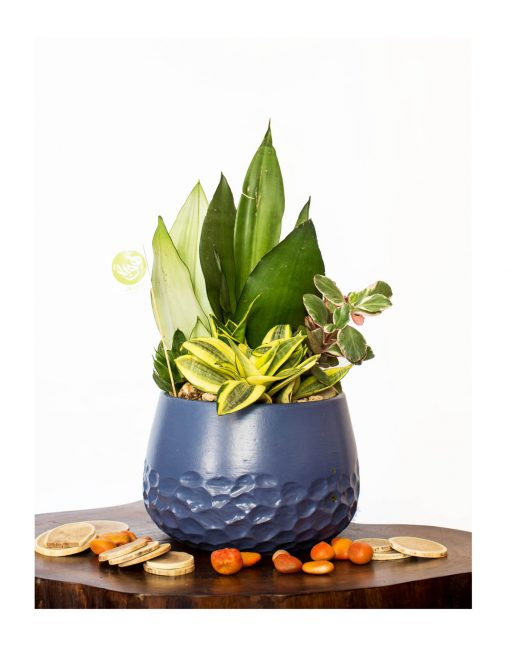 Purify air plants with pots nabatdelivery