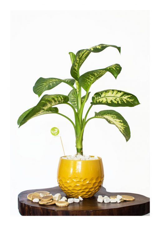 Dieffenbachia with pot (Dumb canes ) nabatdelivery