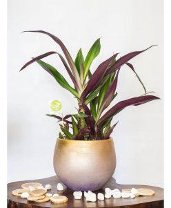 نبات الريو Rhoeo Plant nabatdelivery
