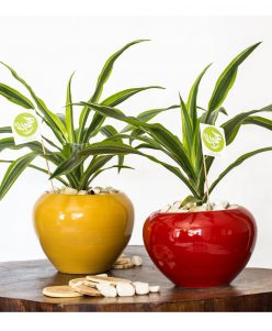 lemon dracaena with pot