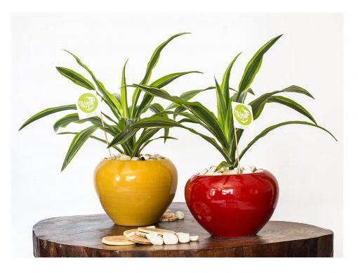 lemon dracaena with pot
