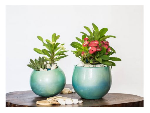 Cactus flowers with pot nabatdelivery