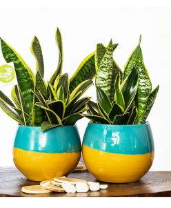 snake plant with colorful nabatdelivery pot