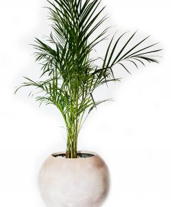 Areca palm with pot nabatdelivery