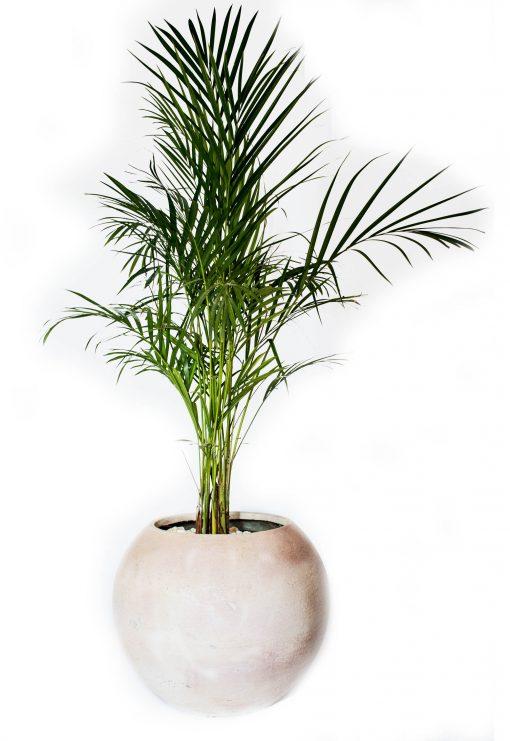 Areca palm with pot nabatdelivery