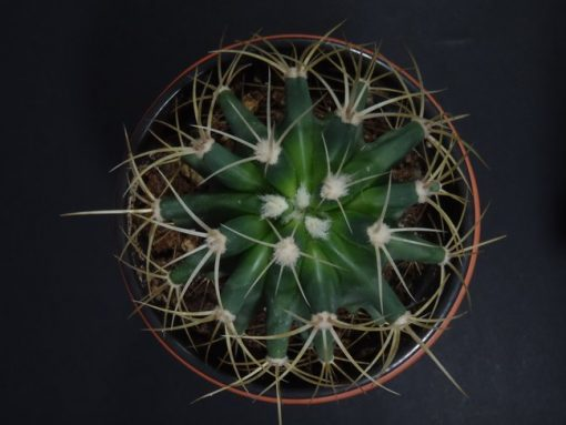 Ferocactus glaucescens (Blue Barrel Cactus) -nabatdelivery