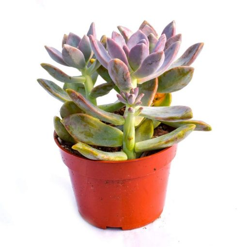 Ghost Plant Graptopetalum nabatdeliveryparaguayense