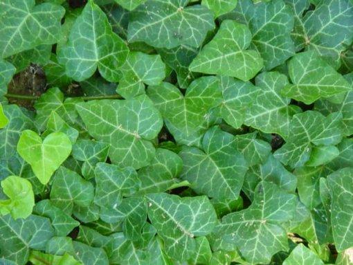 هيدرا خضراء nabatdelivery