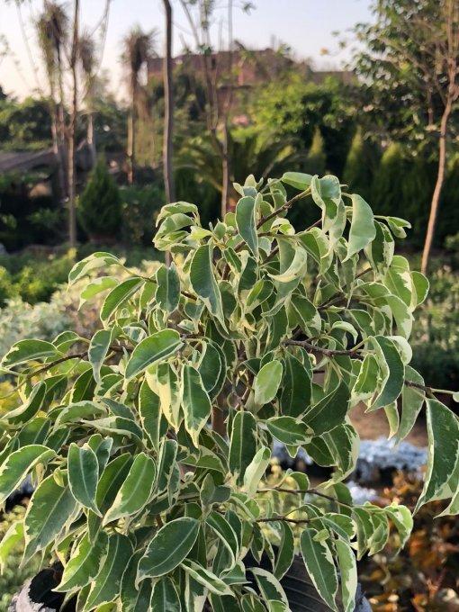 فيكس هاواي Ficus hawaii