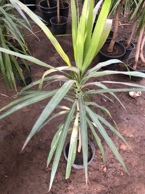 dracaena tricolor nabatdelivery دراسينا تراي كلر