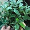 Gardenia  جردنياnabatdelivery