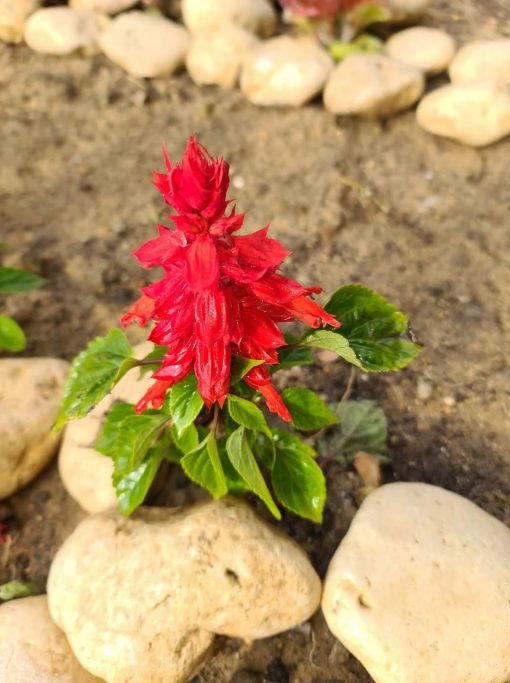 Salvia flowers Nabat delivery