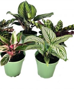 nabatdelivery Indoor Houseplant Collection - 5 Plants - Calathea Vittata - Beauty Star - Rattlesnake - Peacock - Triostar Stromanthe - Beautiful Easy to Grow Air Purifying Indoor Plant