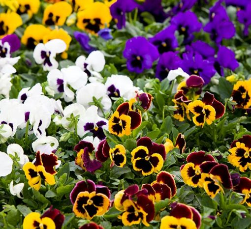Pansy nabat delivery