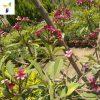 Plumeria-rubra-(Frangipani)-nabatdelivery.com
