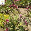 Plumeria-rubra-(Frangipani)1