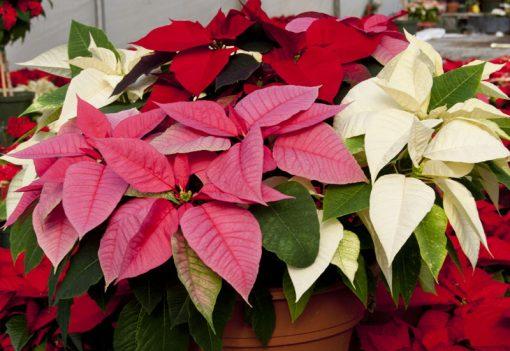 christmas_plants nabatdelivery.com