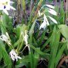 Swamp Lily الزنبق النسيمي