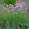 allium-schoenoprasum nabatdelivery