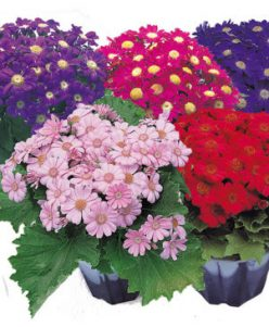 cineraria nabatdelivery