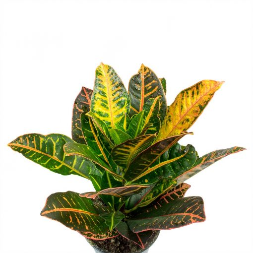 croton-Codiaeum-Petra-Croton-Leaves-nabatdelivery