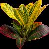 croton-codiaem-variegatum-petra-nabatdelivery