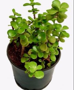 jade plant with pot nabat delivery