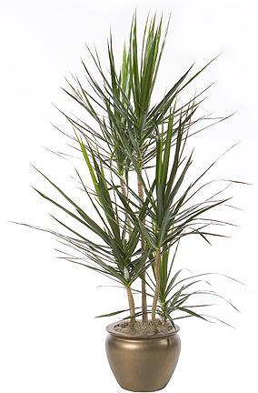 دراسينا سانتروزا نبات دليفرى