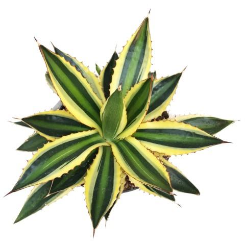 variegated century plant nabatdelivery